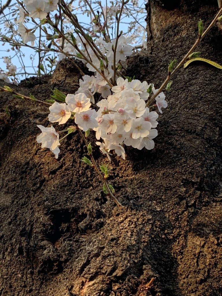 桜 2020